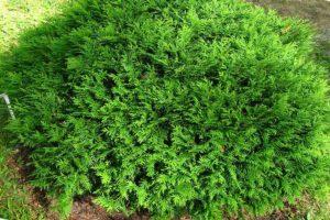 Зеленая туя Глобоза на участке, фото растения и выбор туй