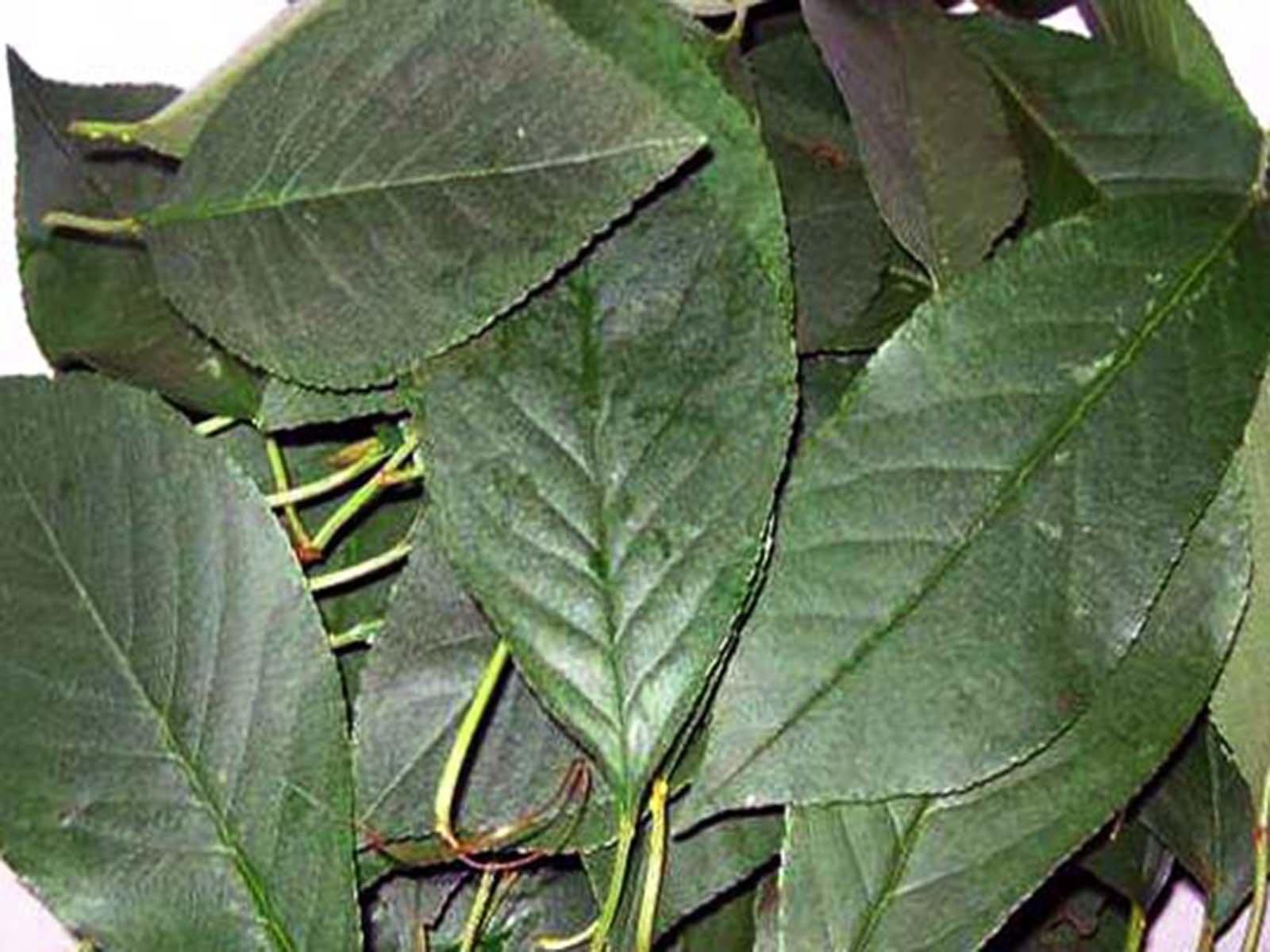 Коптим и добавляем листочки вишневого дерева