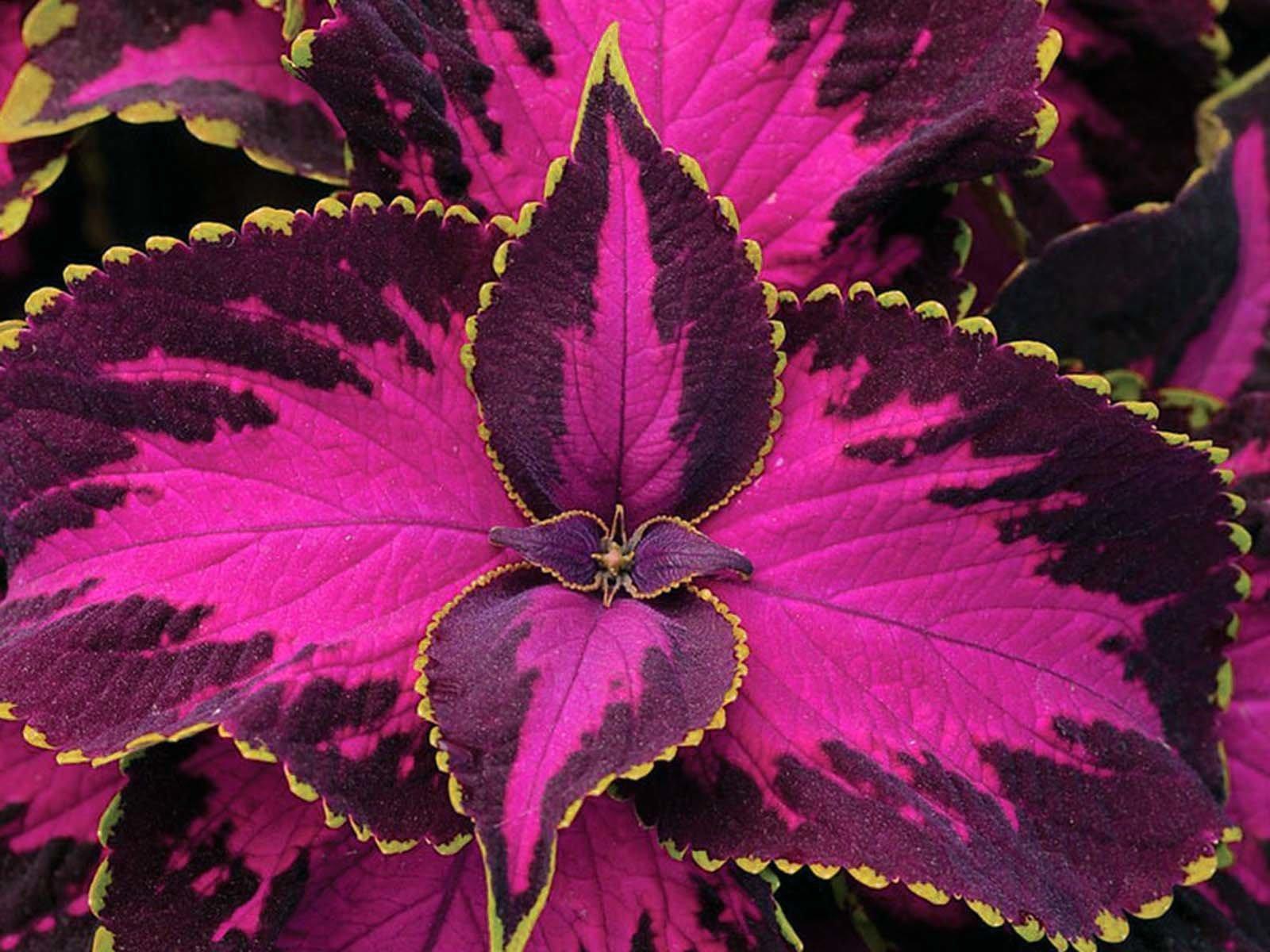 Садим колеус как теневыносливое растение