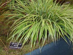 Садим в саду тенелюбивые кусты хаконехлои