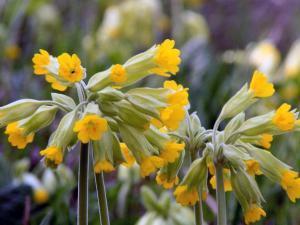 Посадка в саду тенелюбивого весеннего первоцвета
